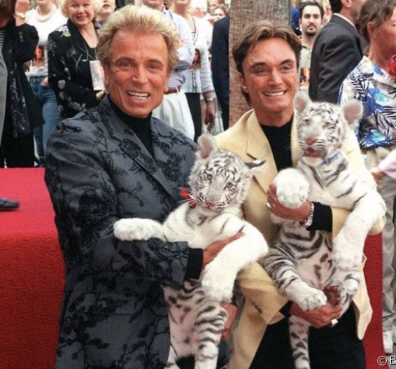Sad news. Walk of Famer Siegfried Fischbacher, the surviving member of duo Siegfried & Roy has passed. Two beautiful white baby tigers joined them at their star at 7060 Hollywood Blvd. ceremony on 9/22/99. RIP🌹🐾