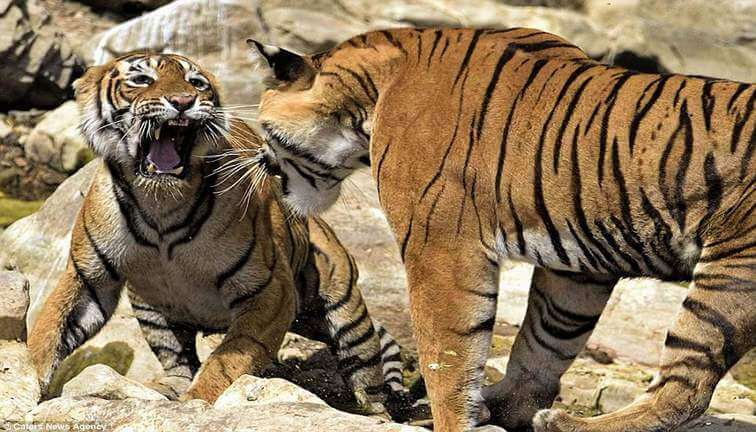he tussle between the tiger and tigress in Ranthambore National Park is not going to pause for the time being as the territorial fight is up until the ruling area is not finalized. #ranthambore #Safari