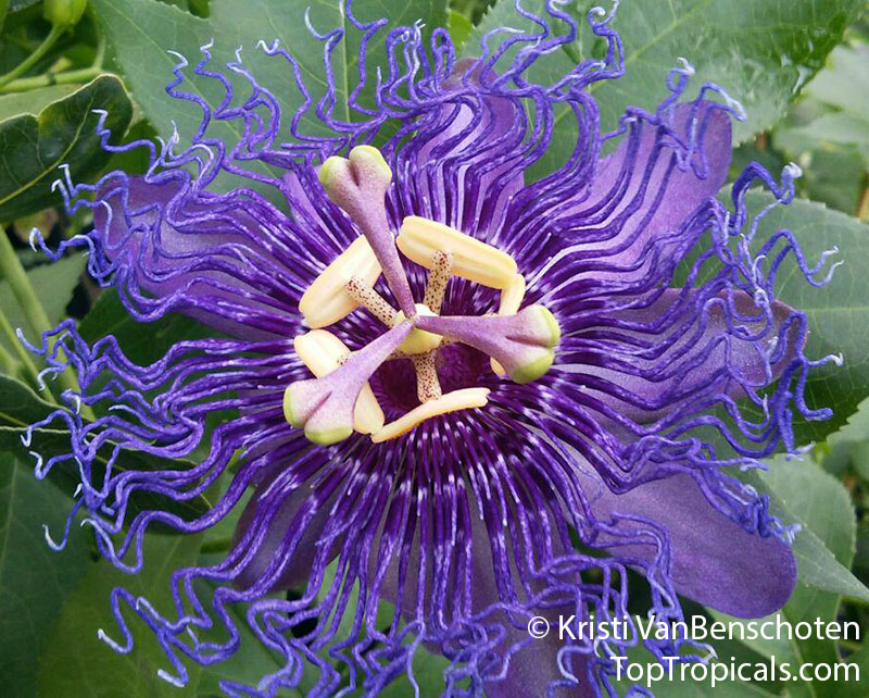 #Passiflora incarnata x cinnicata Incense - Fragrant Passion Flower is fast growing vine that blooms from spring through summer. It has beautiful flowers of striking purple color with a wonderful fragrance.  #floweringvines #fragrantplants #ThursdayThoughts