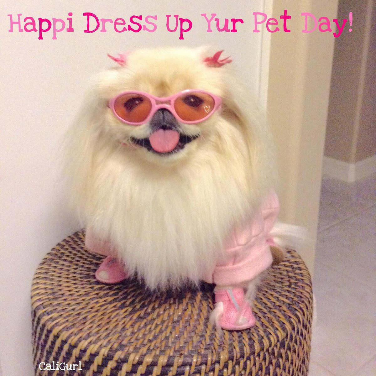 Most ridickculus onsombo I hab eber worn! 😆  #TheDayDaddyDressedMe today iz #DressUpYourPetDay 🐶 Do you have any cute pictures of your dog in dress up or costume? Post 😉 #CaliGurl #happydog #smilingdog #nationaldressupyourpetday #doggles #pink #doginclothes #dogsinglasses