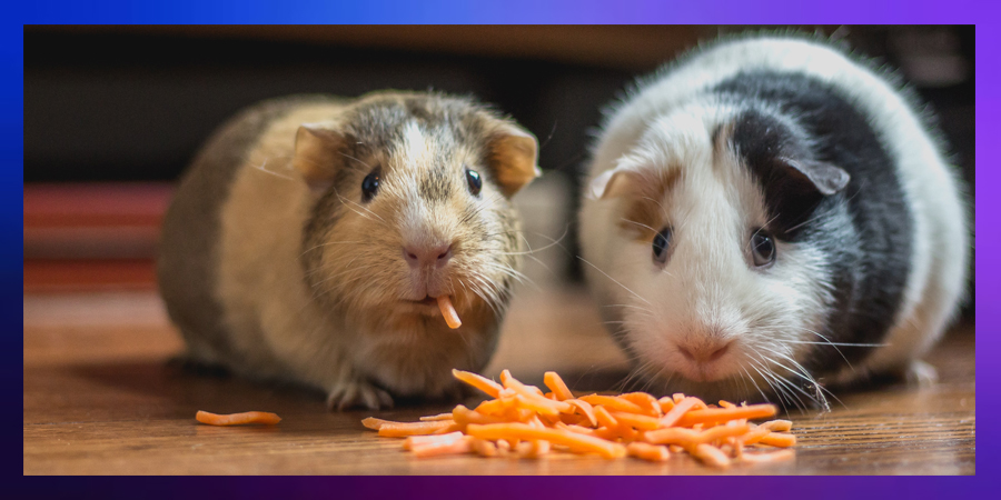Which #guineapig will get the last #carrot?   #guess #game #animals