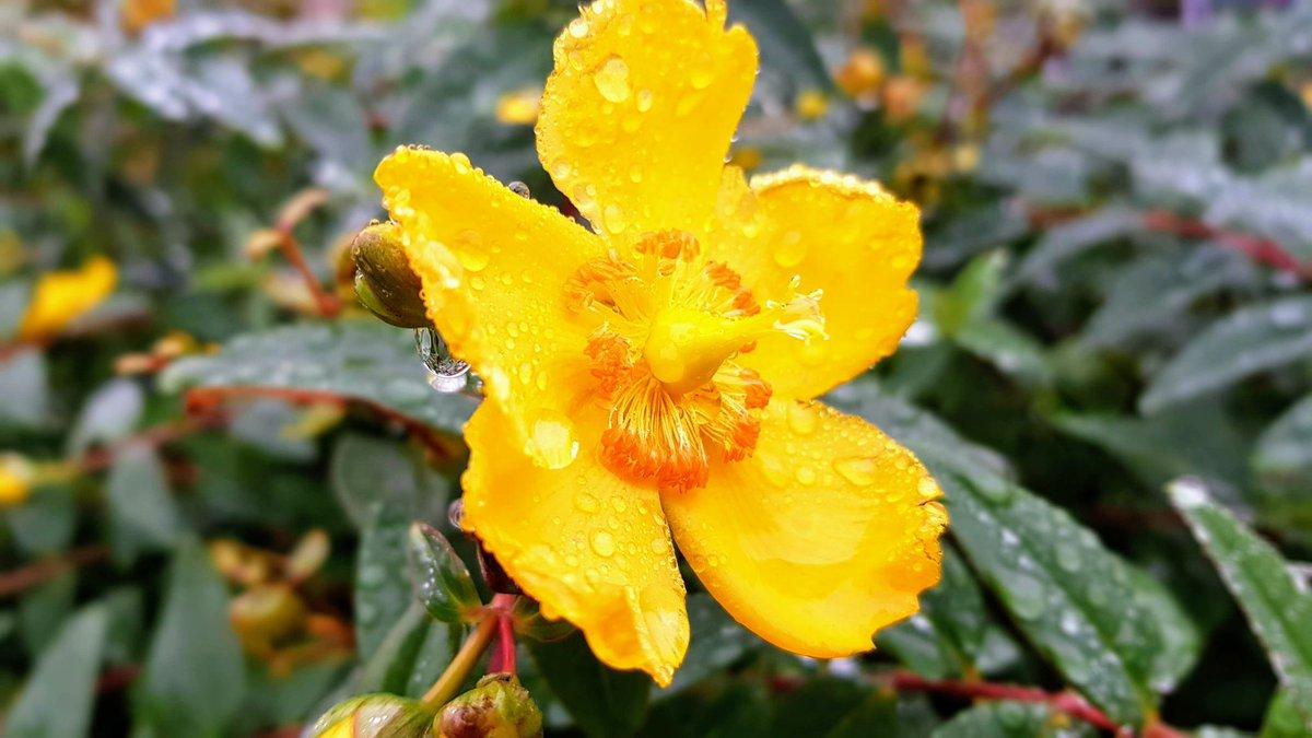 More rain! #RAIN #thursdayvibes #Flowers #yellow #garden #January #beautiful