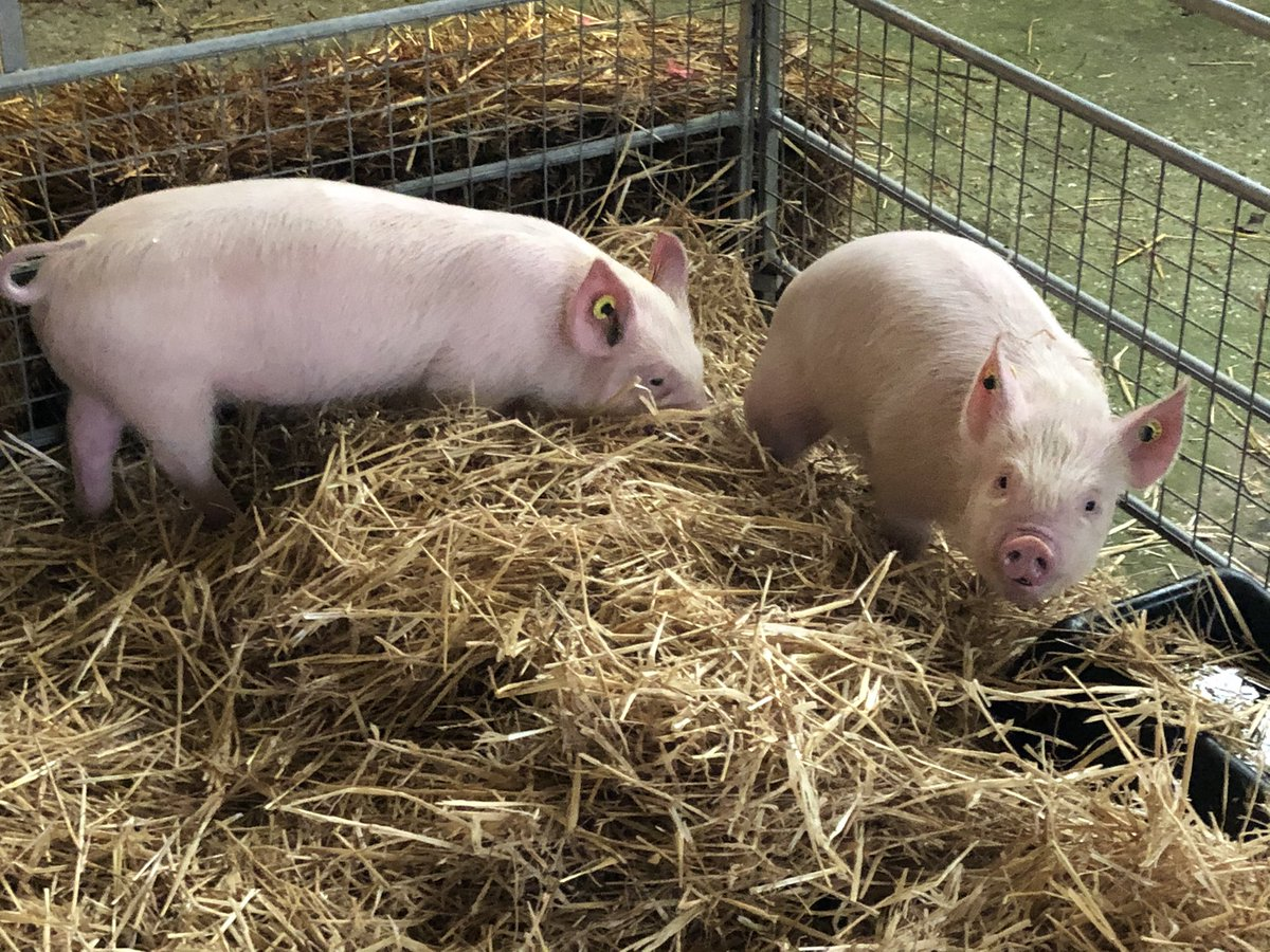 Pretty awesome meeting these two today. They are Middle White Pigs which are quite rare. 🐷🐖