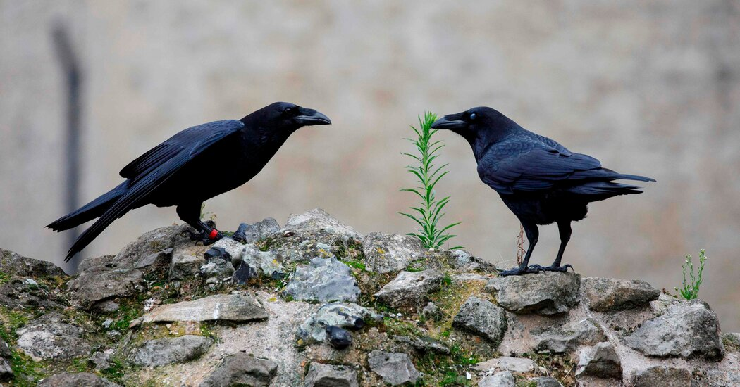 A Raven Queen Vanishes, and Britain Checks a Prophecy Photo
