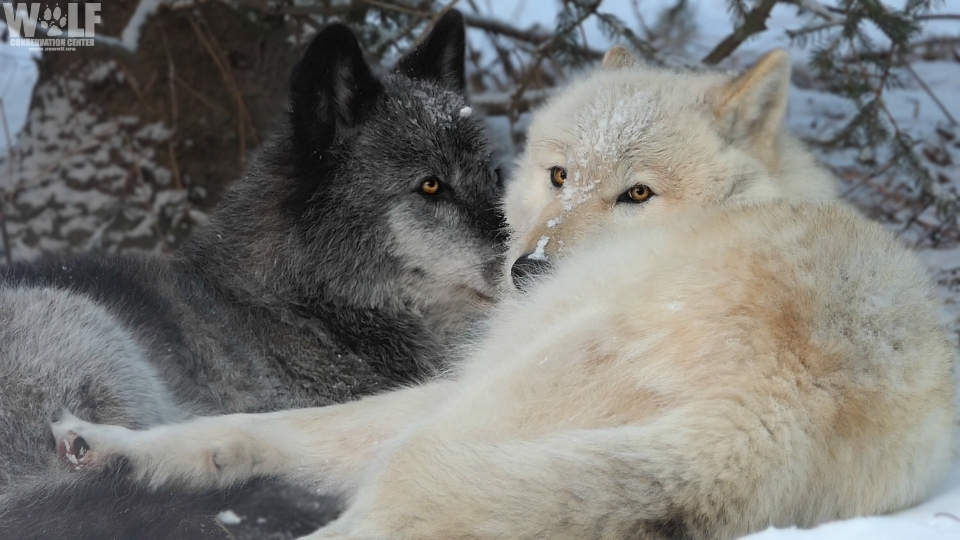 If we leave wolves alone, we'll be the ones to benefit – for the presence of wolves in our natural world evokes the sense of wonder that helps us not just to live, but to be alive. ~Gordon Haber