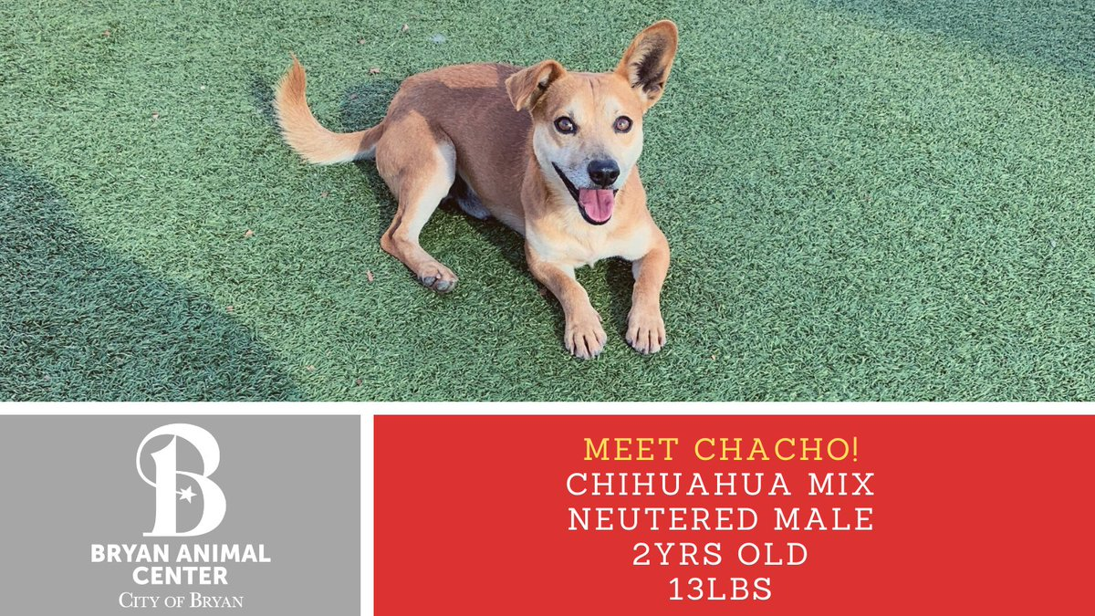 Meet Chacho! He is so cute with his floppy ear! He loves belly rubs and will make a great movie date!  Don't forget all dogs are only $40 the whole month of January! #Adopt #meetchacho #Adoptionspecial #bellyrubs #CutenessOverload #Rescue #moviedate #CityofBryan #chihuahualove