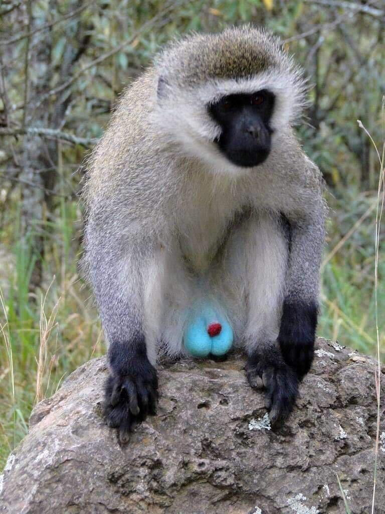 "The Vervet Monkey, also widely publicized as ""the blue egg monkey"", is a primate native to Africa."