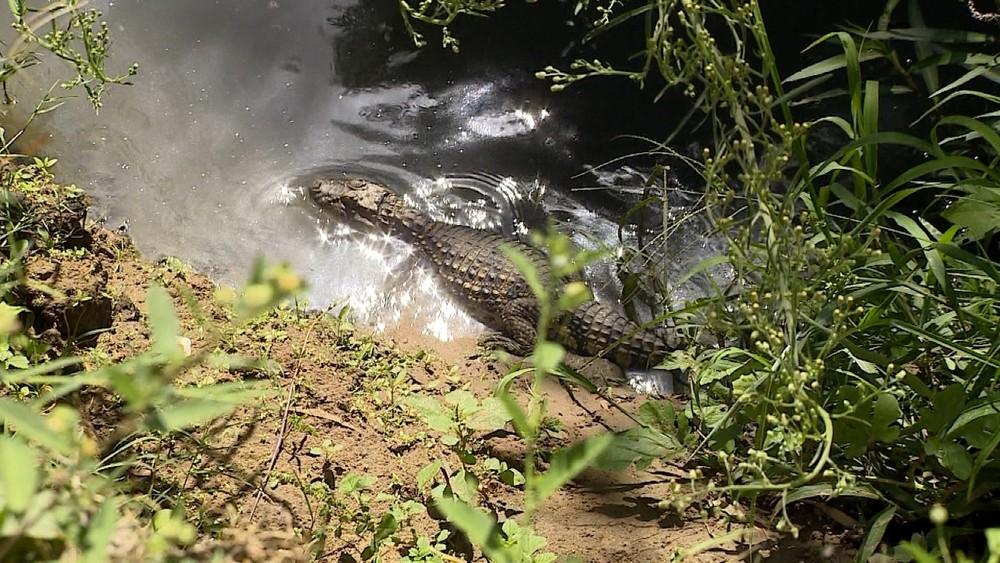 Autoridades ambientais monitoram jacarés vistos próximos de casas de Santa Maria, RS  #G1