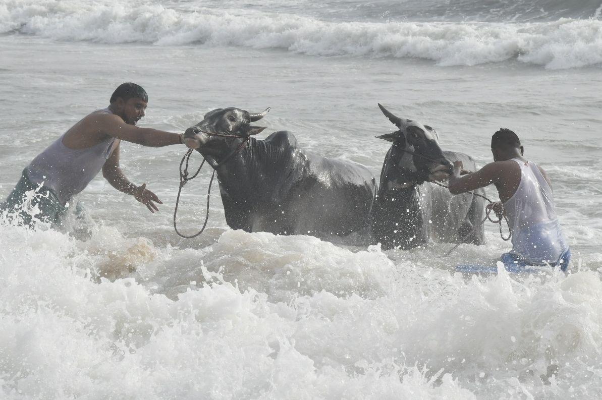Bulls at #Marina beach in #Chennai on #MattuPongal Photo: R. Ragu/The Hindu