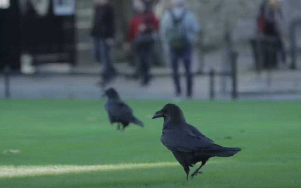 Desaparece da Torre de Londres um dos corvos que, segundo lenda, garantem sobrevivência da monarquia  #G1