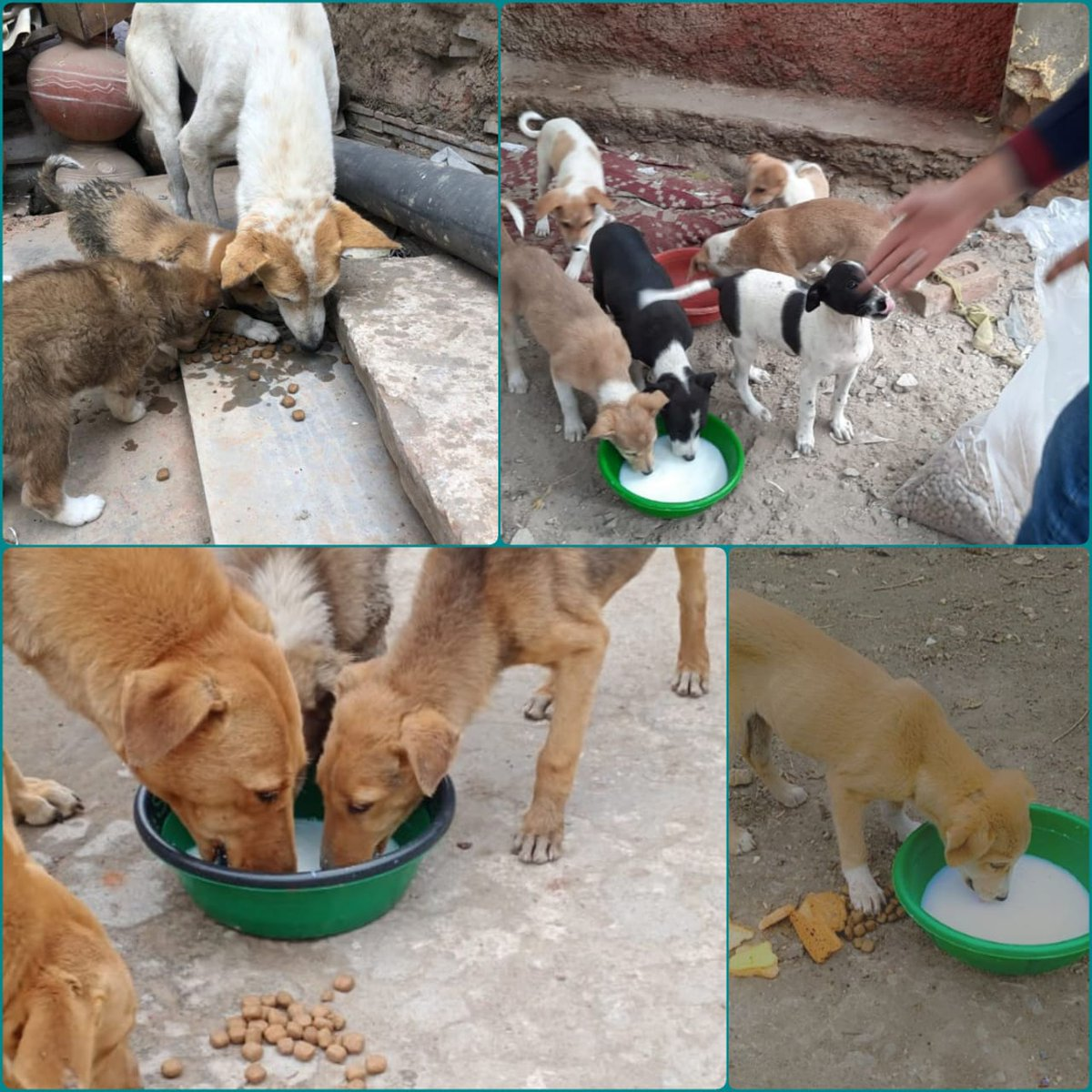 Replying to @TweetsoKhaja: RT @SRKUniverse: SRK FANs from Udaipur celebrated  #MakarSankranti by distributing food  to animals and also by distributing snacks & biscuits to poor children 🙏🏻♥️