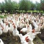 Image for the Tweet beginning: The bird flu that is