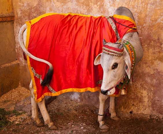 pongal  #MakarSakranti is festival related to harvest but also for worship of our cattles, those who are at central point in Agri based economy-livelihood  daily life in village offerings are made to our cattle too🙏