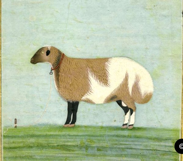 An animal properly living up to its name   A fat-tailed sheep from a mid 18th c Polier Album. Awadh  Now at the British Museum