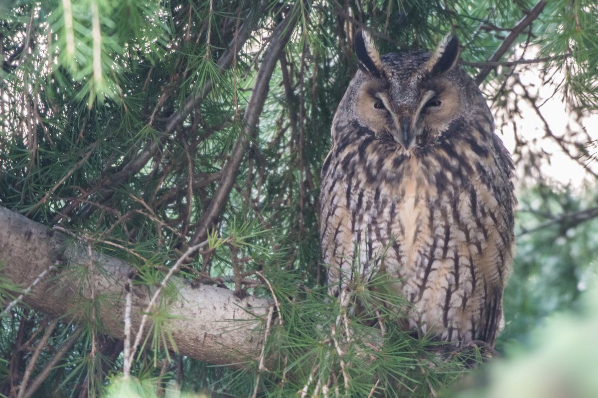 Wow this morning added another major highlight since getting into Birding/Photography  😍🥰  A gorgeous Long eared Owl roosting 😍  #longearedowl  #nature #wildlife #birdphotography #owl #TwitterNatureCommunity #Asiootus #ukwildlife https://t.co/oMDClMYP9a