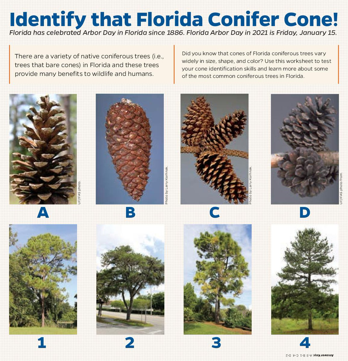 Happy #FloridaArborDay!   Test your tree knowledge by matching the right cone to the conifer🌲  (Answers bottom right 😉/ tree info in the 🧵)    #FridayThoughts @SFRC_UF