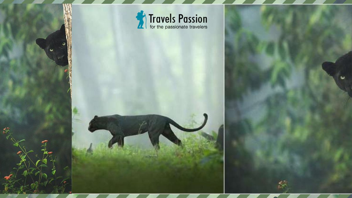🐾Amazing India - A black panther roaming the jungles of Kabini🐾  #kabini #India #travelling #trip #fridaymorning #weekendvibes #travelspassion #holidays #vacations #BlackPanther #jungle #photography #photographer #Photos #HappyHolidays #NewYear2021 #Happy