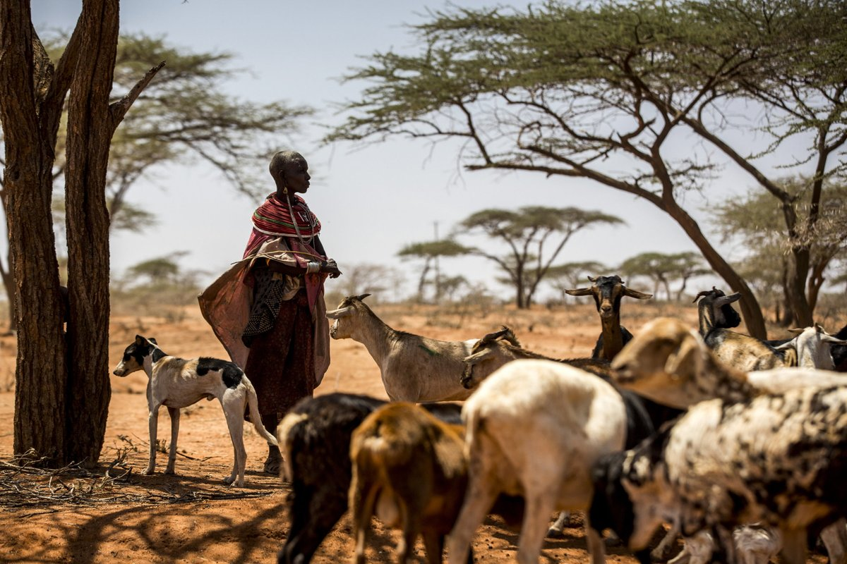 Outbreaks of #PPR (goat & sheep plague) fell by two-thirds in recent years.  The decrease of the highly contagious animal disease is due to the impact of vaccination campaigns in over 50 countries.  Challenges remain but PPR eradication is in sight. More: