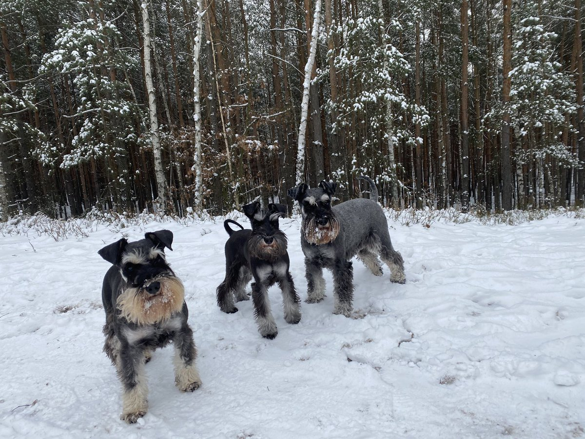 SCHNAUZER GANG IN THE FOREST  #ForestGang   Have a great Friday!  #SchnauzerGang #Dogs #puppies #Friday #FridayMotivation #life #nature #fun #love #naturelovers #pets #Hobby #winter #CHOICE #lifestyle #forest #walk #GoalOfTheDay #free #quote #Motivation #Domains   #AgeofOnline🧑🏽💻