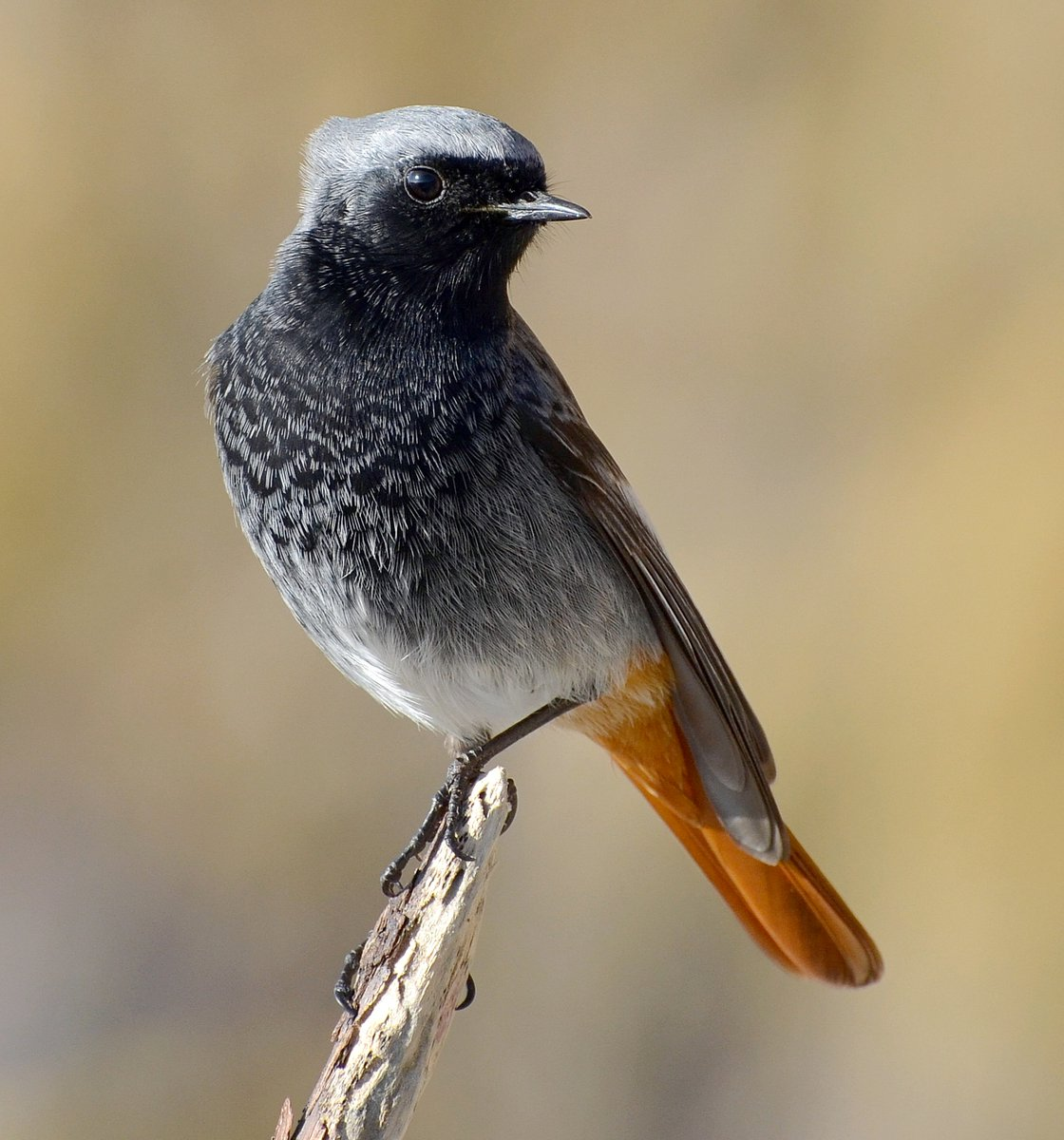 One of my favourite photos of all time, a ridiculously confiding male Black Redstart from 5 years ago at Brean Down in Somerset! 😊     Look at him, and try to tell me he's not stunningly beautiful! 😍😍😍😍😍😍 #TwitterNatureCommunity 🐦 https://t.co/dc6Ds1ecCM