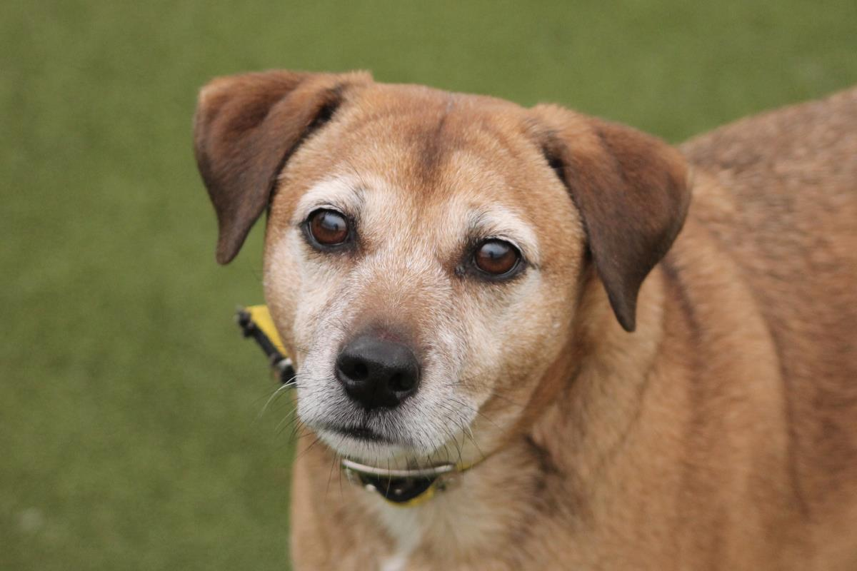 Please retweet to help Midge find a home #WORCESTERSHIRE 🇬🇧 Sweet Terrier Cross aged 8+ in shelter through no fault of his own, he's confused why he's there, can live with another dogs and kids aged 11+, housetrained, good in the car✅🐶🚗  #dogs #pets #UK