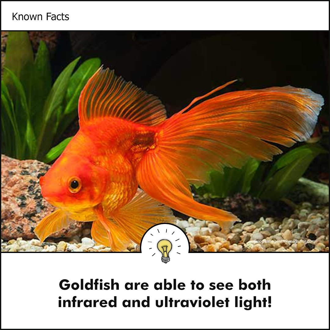 Did You Know ?? Facts on Goldfish   #goldfish #fish #animals #environment #life #facts #DidYouKnow #didyouknowfacts #facts #known #knownengine #science #nature