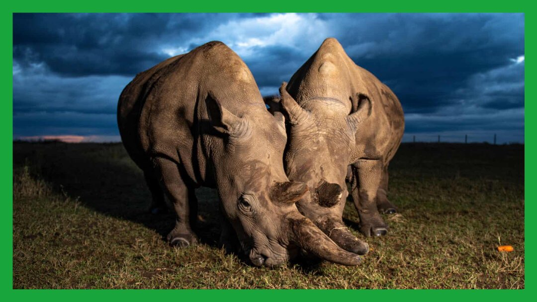 🦏  #NumbersToKnow  2  The number of remaining northern white rhinos, a mother and daughter.   Scientists see new hope in stem cell breakthroughs to save this species from extinction.   ➡️   #extinction #rhinos #biodiversity #wildlife