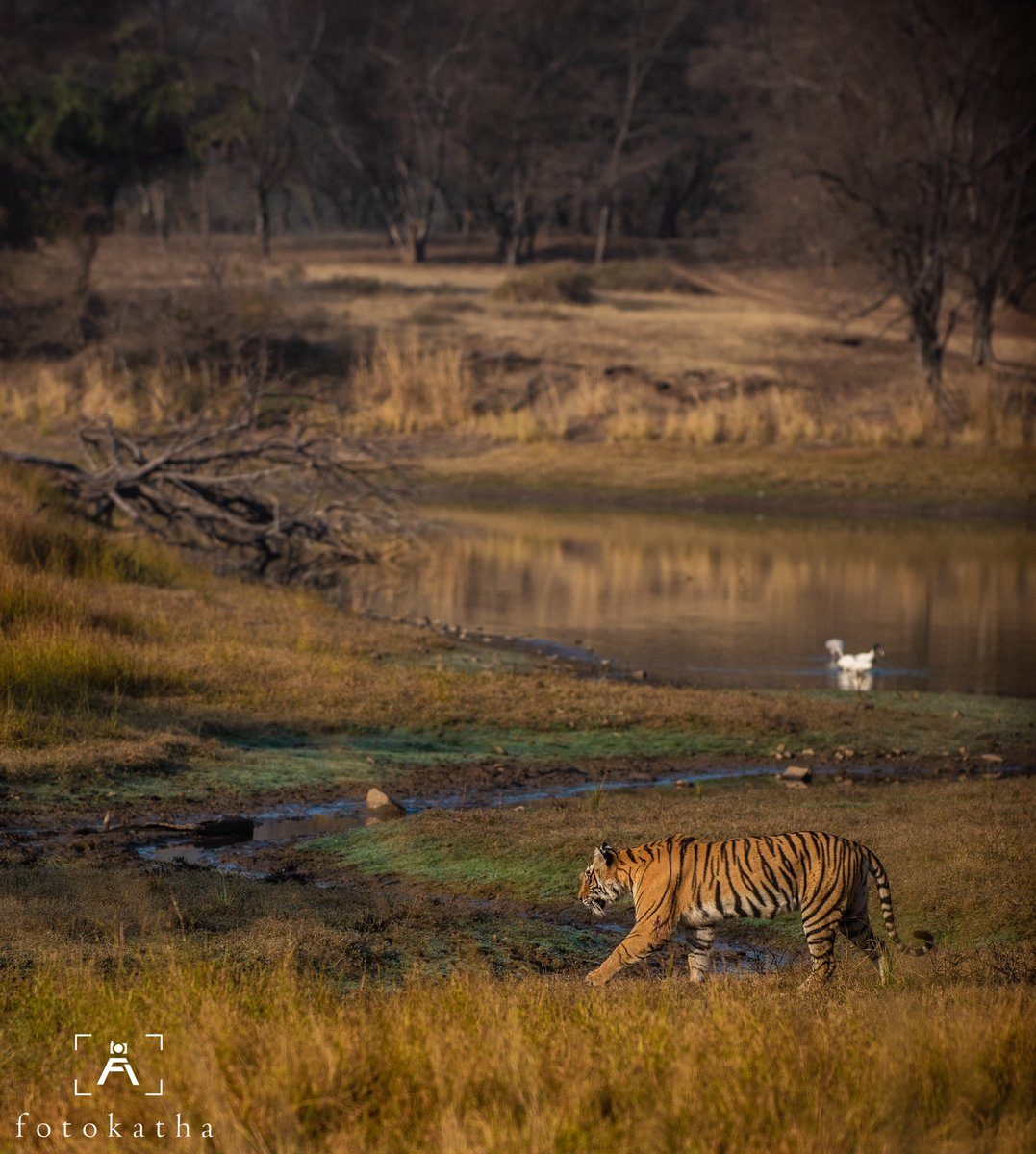 In the forests in India, the tiger is undoubtedly the showstopper.  #tiger #tigers #ranthambore #ranthamborenationalpark #ranthambore #ranthamboretigerreserve #savetigers #wildlife #wildlifephotography #wildlifeonearth #wildlifeplanet  #wildlifephotographer  #wildlifeonearth