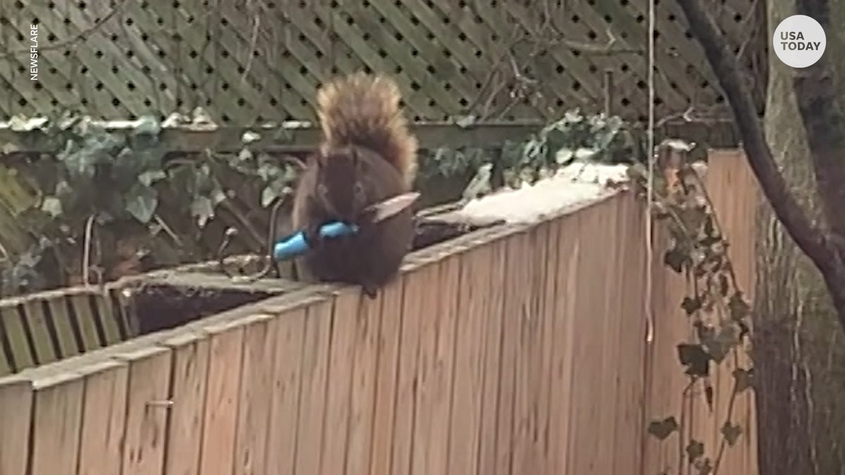 Replying to @USATODAY: Just a squirrel holding a knife.