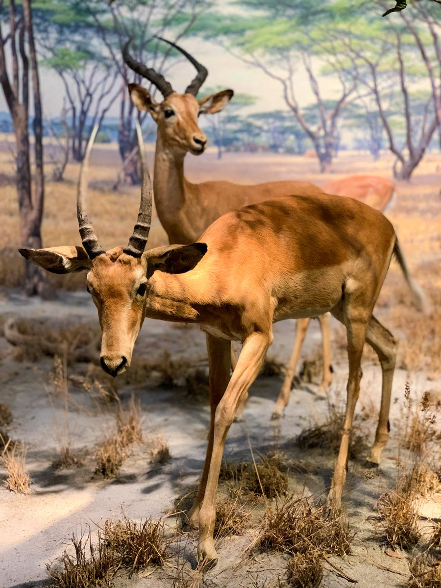 Exhibit of the Day: The Impala diorama in the Hall of African Mammals! This fast-moving animal can make leaps of up to 10 ft (3 m) high & 30 ft (9 m) long, which can be helpful in making a hasty getaway from foes, like cheetahs.  Plan your weekend visit: https://t.co/Wn2SO9DRM2 https://t.co/izDpxOkCiD
