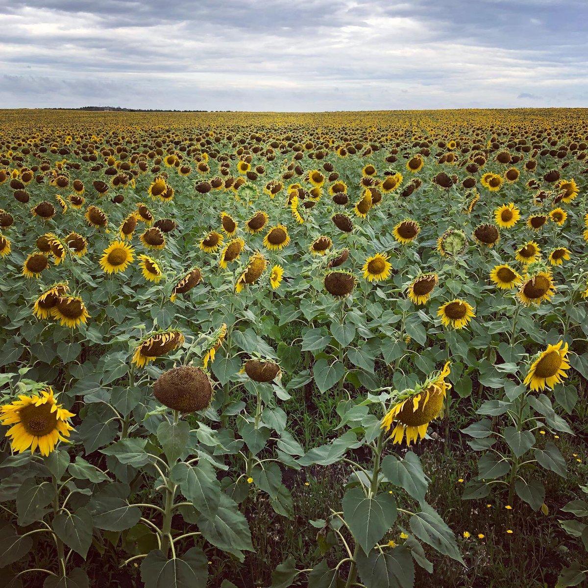 #Girasoles 🌻 VS #pajaros 🐦   #plantas #plantaciones #campodegirasoles #aves #birds #bird #birdphotography #girasol #amarillo #yellow