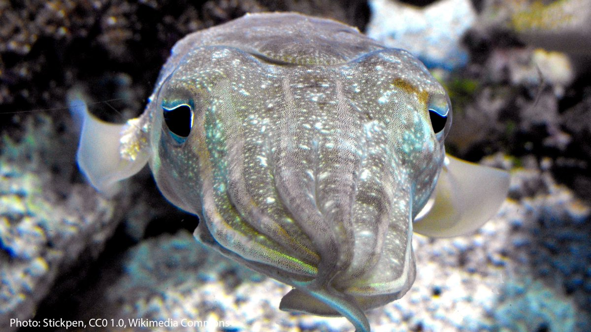 Fun fact: Sepia isn't just a photo filter. It's actually named after the color of ink that cuttlefish emit when under threat! Meet the pharaoh cuttlefish, who, like its cuttlefish relatives, releases a cloud of sepia ink when approached by a foe. 🦑 https://t.co/8JZwBNnZuv