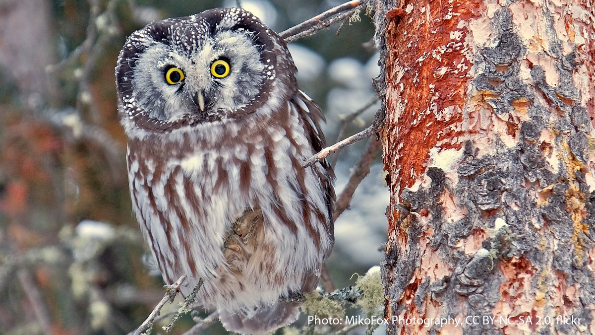 The Boreal Owl has asymmetrical ear openings: the right ear is much higher than the left! A sound coming from the ground will arrive at each ear at a slightly different time & intensity. By comparing the sound in each ear, it can pinpoint the location of small prey in the dark. https://t.co/lgt0lAysd9