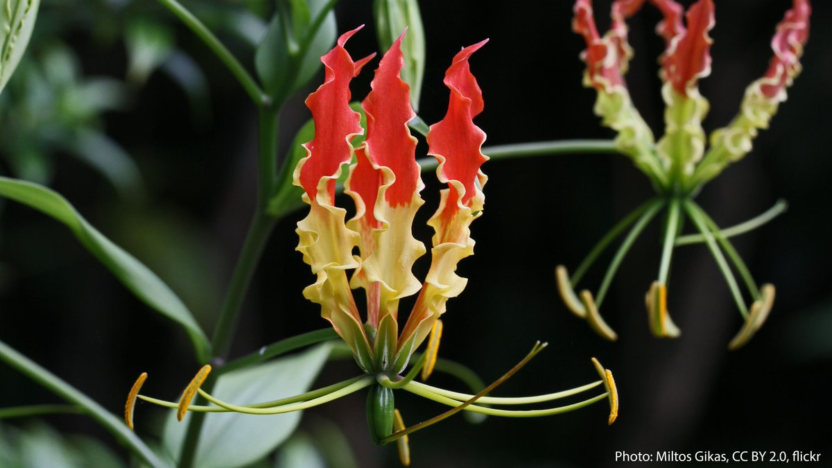 With its signature flame-like petals, it's easy to see why the gloriosa lily is often called the flame lily. This flower can be found in parts of Africa & SE Asia. All components of the flame lily are highly toxic—particularly the tubers, which look similar to sweet potatoes.🔥 https://t.co/sugnVIPyom