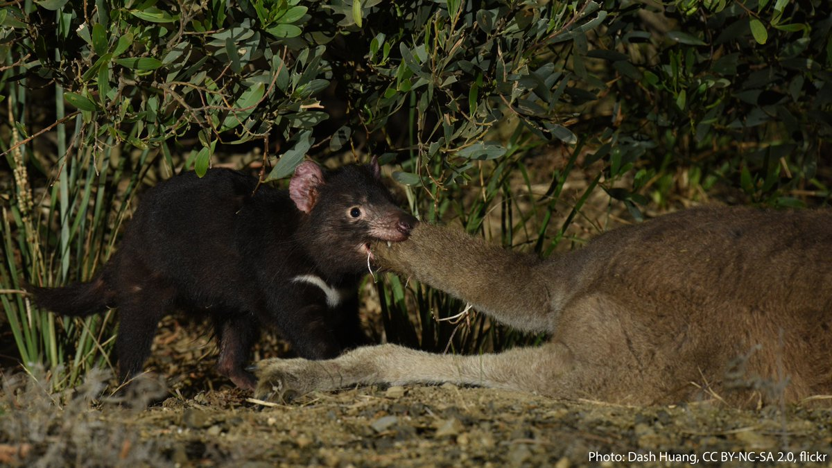The Tasmanian devil needs no introduction. This rambunctious animal is known for its bold temper, haunting calls, and impressive bite. It's the world's largest extant carnivorous marsupial, and it eats almost anything it comes across—bones and all! https://t.co/qAdFnbkWii