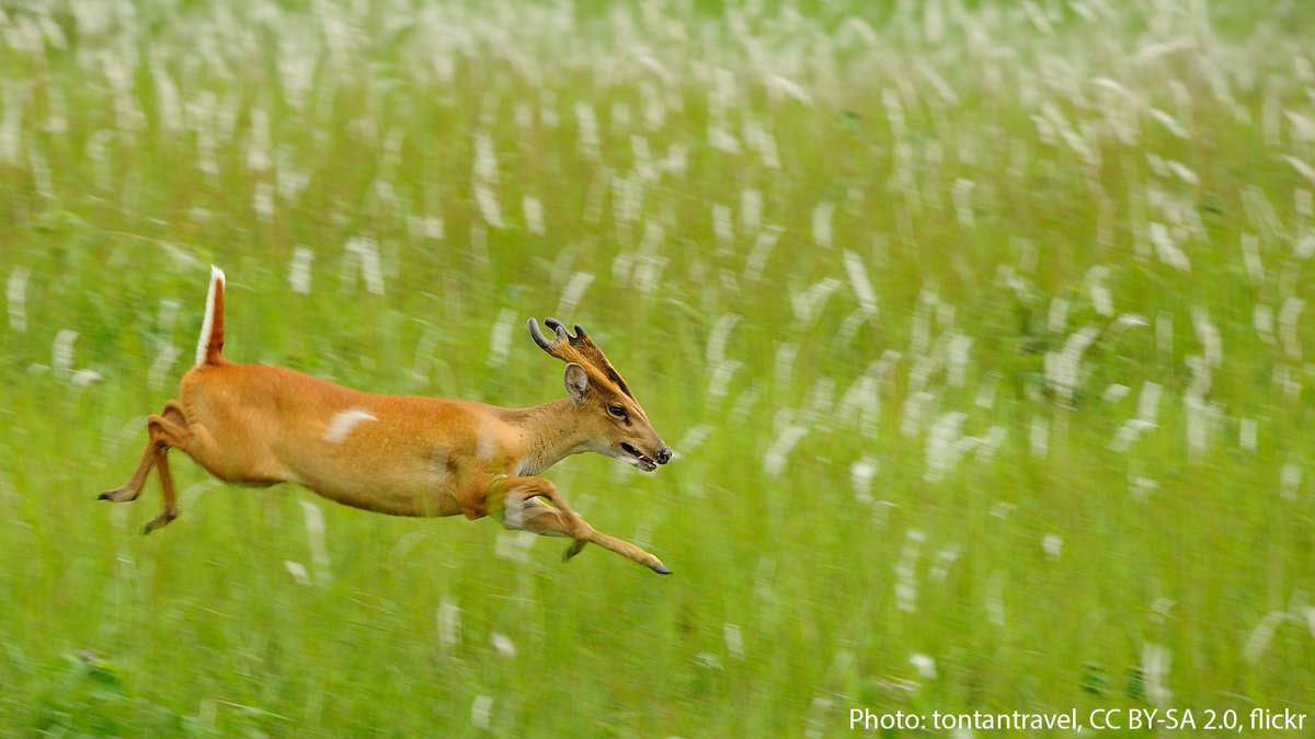 Ever heard of a deer that barks? The muntjac, which lives in southeast Asia, makes bark-like noises to alert others of approaching predators. Humans who enter forests where this species lives sometimes rely on its bark as a warning signal for potential threats, like tigers. https://t.co/MA27NV1De1