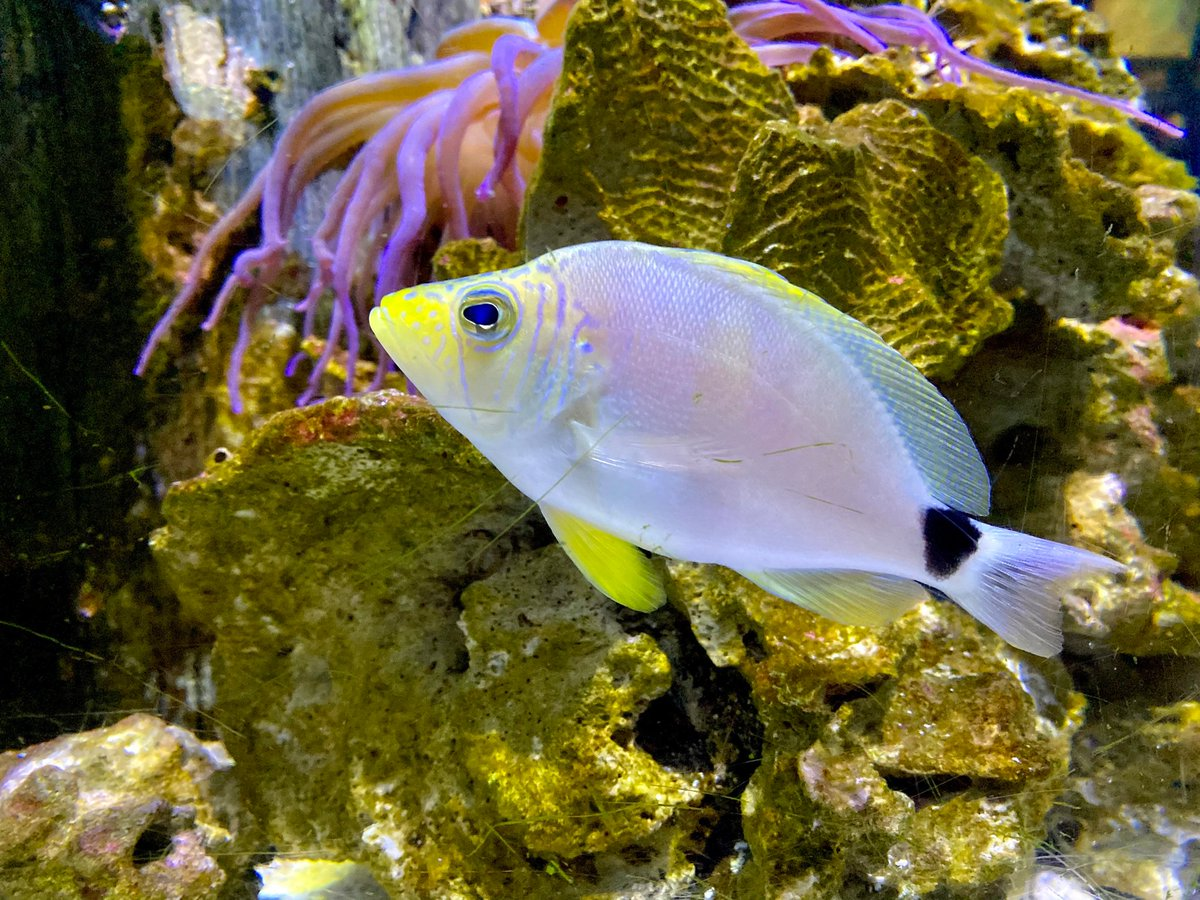 DYK? The butter hamlet is about 5.5 inches! 🧈🐠 #FloridaAquarium