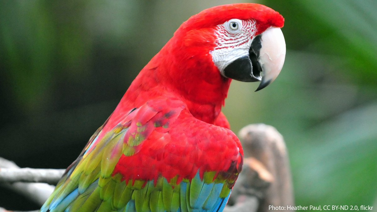 Meet the Red-and-green Macaw. It lives in humid forests or savanna habitats throughout parts of South America. It has a clever way of neutralizing any toxins in its diet: by consuming mineral-rich sand or clay, it counters the effects of any poisonous fruits or nuts it has eaten. https://t.co/gdI4n5cvm6