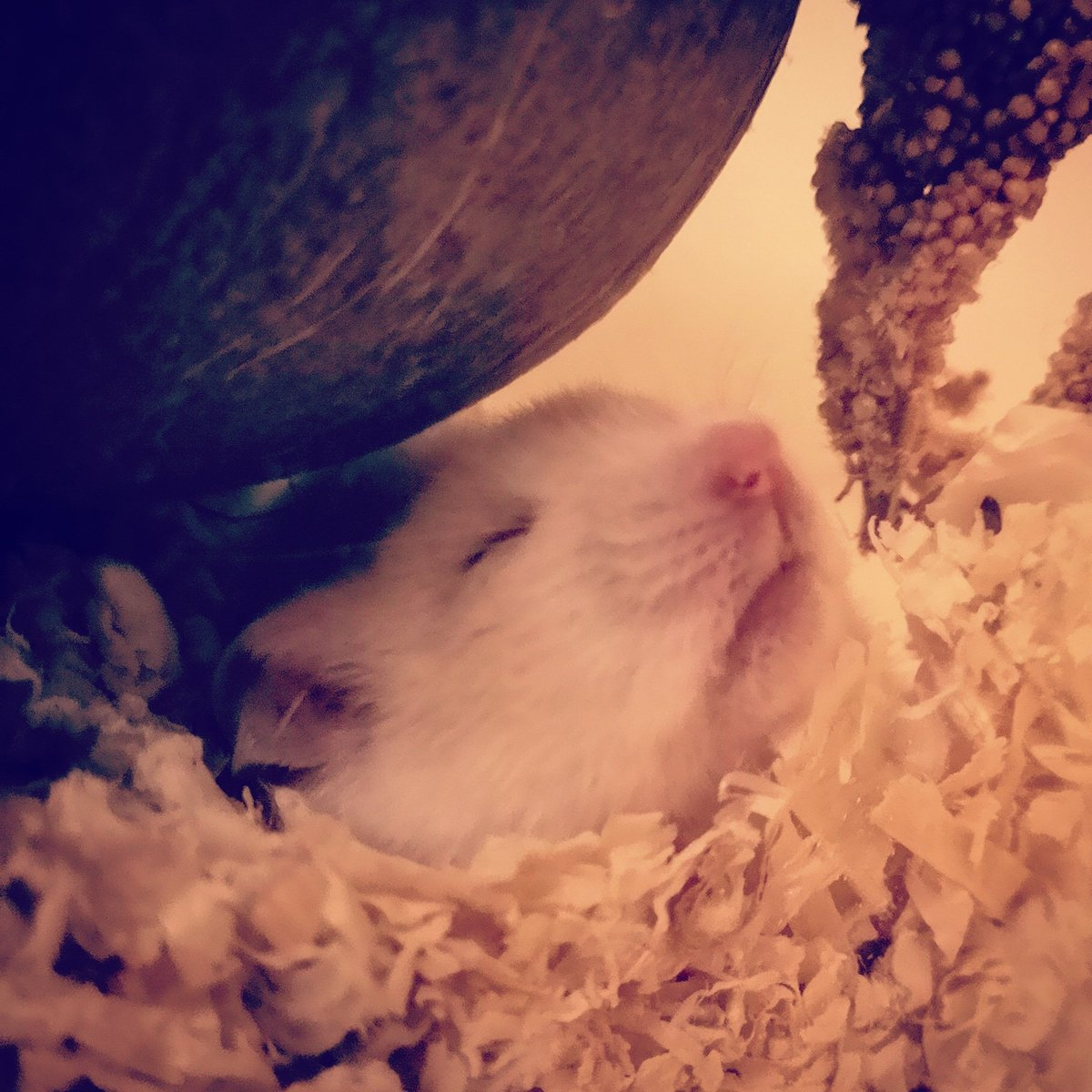 I like to sleep underneath my coconut against the glass in a little burrow i made 💜🙈 Where does your hamster sleep?  #hamsters #pets #petsofinstagram #hamster #photooftheday #cute #furry #smallanimal #pretty #ilovemypet #sleep #sleepyhamster #sleepypet #sleeping #question
