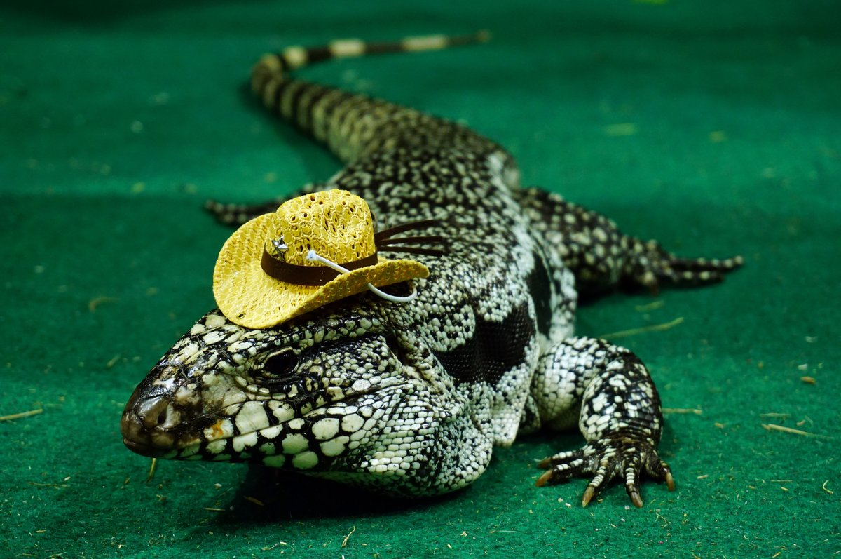 January 15th is National Hat Day.  Who else is celebrating?  #critters #crawlers #YYC #YEG #Alberta #shoplocal #liveinsects #feederinsects #livefeeders #reptiles #pets #insects #petfood #crickets #mealworms #hornworms #superworms #RedDeer #Airdrie #HatDay #NationalHatDay