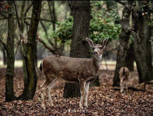 You never know what amazing things you'll see on Lodi Lake Wilderness Trail. 🦌 Great shot by @joseph.magnelli . . . #visitlodi #lodilake #winecountry #deer #nature #outdoors #photooftheday #beautiful