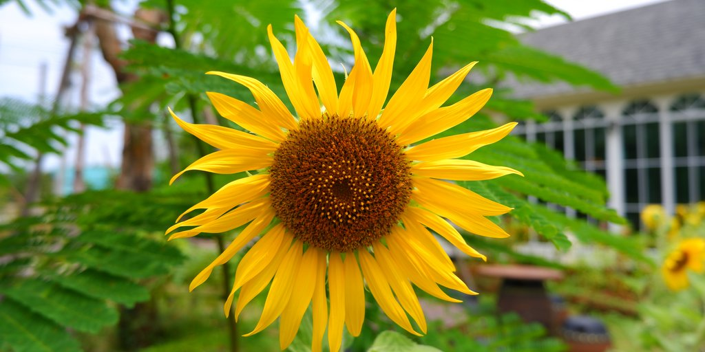 Friday Fun Fact: Sunflower roots can help restore contaminated soil and detoxify it from heavy metals such as lead, arsenic and copper. 🌻🌱  #DTELandscape #downtoearth #fridayfunfact #sunflower