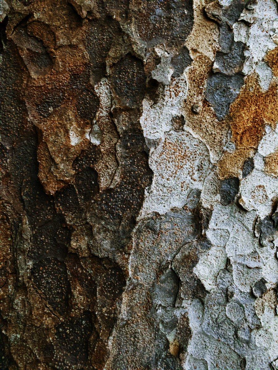 【樹皮蒐集】おはようございます #樹皮蒐集 #樹を撮る人 #樹皮 #写真好きな人と繋がりたい #キリトリセカイ #nature #photography #naturephotography
