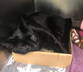 *SHELTER PLEA* Jay jay is a sweet cat who was found as a stray with injuries that need treatment asap! Suspected high rise cat with hard palpate fracture suspected forelimb fracture and mandibular fracture.