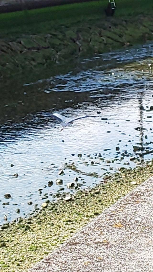 今日の青鷺君3 #鳥 #小鷺 #コサギ #川 #川面 #水鏡 #reflection