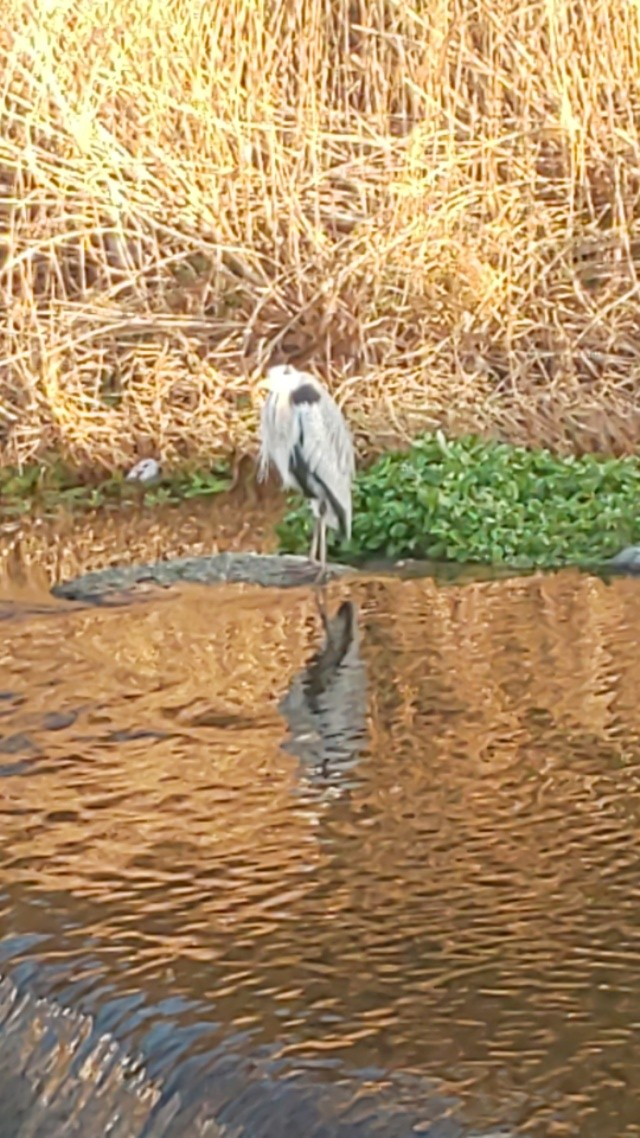 今日の青鷺君 #鳥 #青鷺 #アオサギ #川 #川面 #水鏡 #reflection