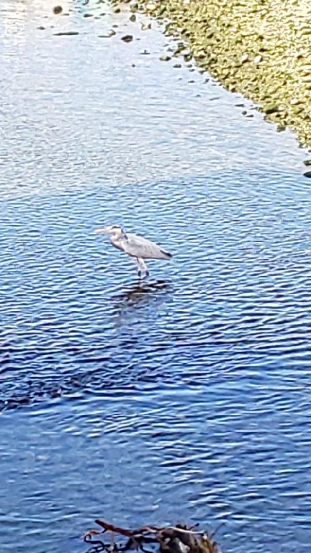今日の青鷺君2 #鳥 #青鷺 #アオサギ #鳥 #小鷺 #コサギ #川 #川面 #水鏡 #reflection
