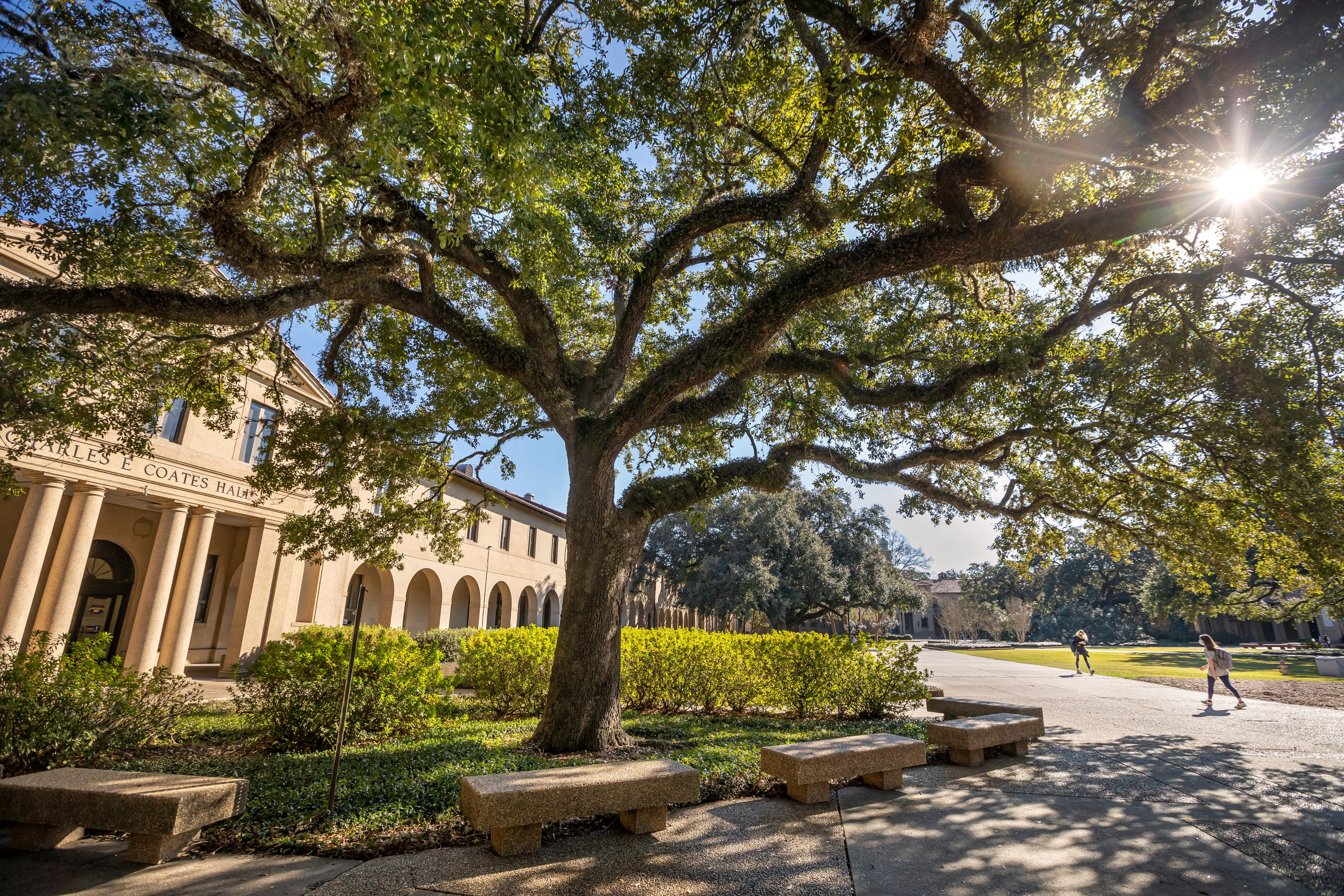 Historic oak tree with the sun shining through the branches in the Quad while students walk in the background.