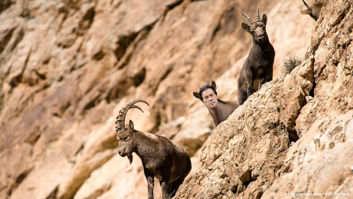 Replying to @BharatDefenders: Endangered species including #Ibex found in Gilgit-Baltistan, India. #CorruptImranKhan