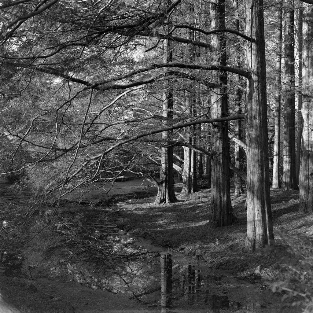 メタセコイアの林。 神代植物公園にて。  Rolleiflex2.8C / Planar 80mm F2.8 / ILFORD DELTA100  #神代植物公園 #rolleiflex #rolleiflex28c #planner #neopanacros100  #ilford #ilforddelta100 #delta100 #filmphotography #blackandwhite #monochrome #ローライフレックス #モノクローム